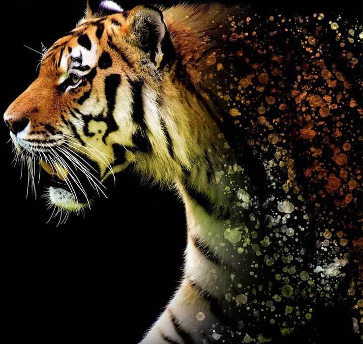 Tiger Forma